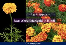 Facts About Marigold in Hindi