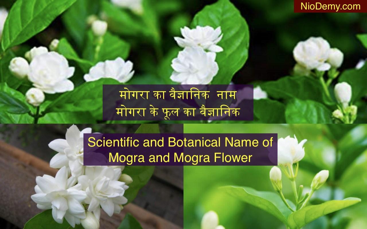 Mogra Ke Fool Ka Scientific Naam